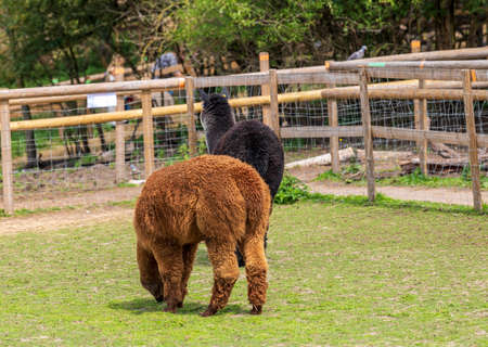 The beautiful Alpacas roaming the field, George Mead memorial stables, Welling, London
