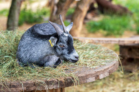A portrait of a sleeping goat in a stable of a free range, London