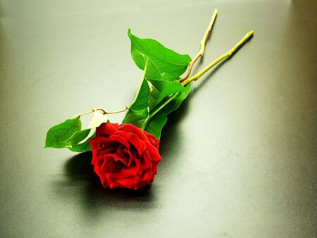 Branch of a red rose against a dark background photo