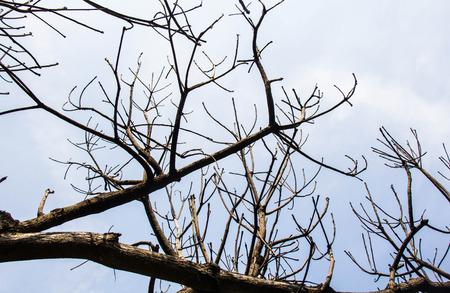Dead tree in winter season photo