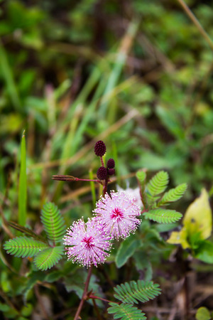Sensitive plant, mimosa pudica photo