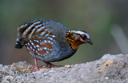 rufous breasted patridge Stock Photo