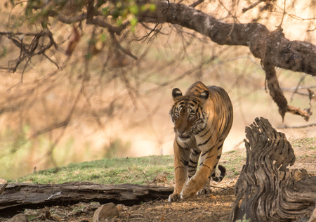 Royal Indian tiger Standard-Bild
