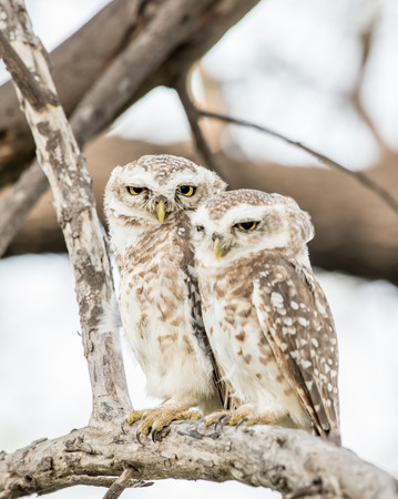 spotted owls Imagens