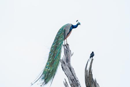 peacock- high key image