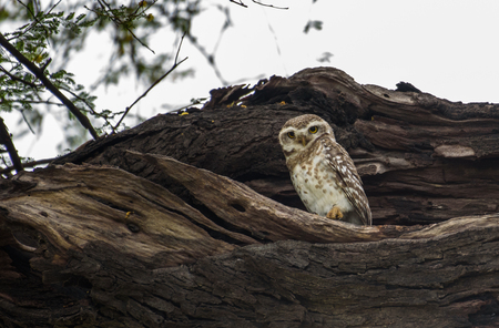 spotted owlet Stock Photo - 101030923