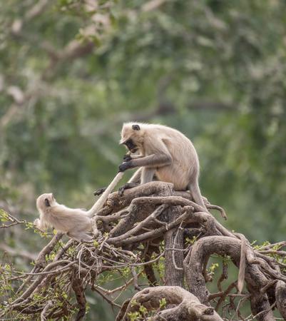 Monkeys fight