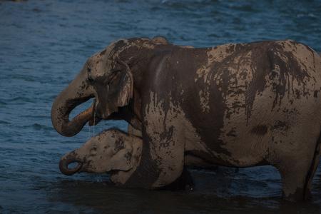 Asian Elephant and calf Imagens