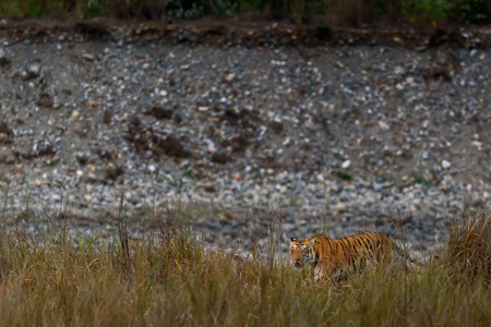 Indian tiger Standard-Bild - 100816314