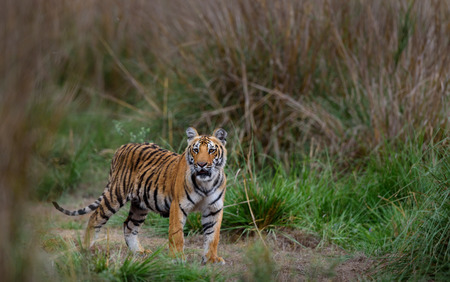 Royal bengal tiger cub