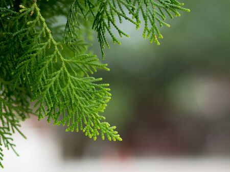 Pine branch and leaves. abstract natural backgrounds. Green thuja background.