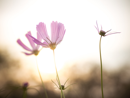 winter sunrise: Beautiful cosmos flowers in garden for background. Selective and soft focus blurry. Vintage tone.