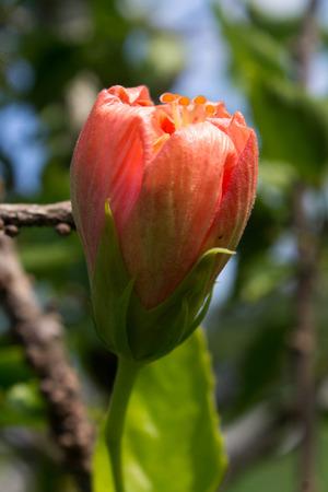 tropics: hibiscus, flower, tropics, tropical, yellow,