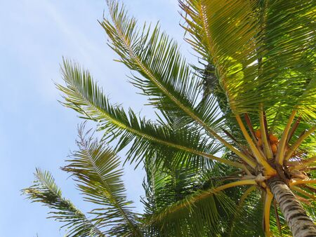 Palm trees under a blue sky in Martinique, French west indies. Caribbean sea. Natural colors and texture. Standard-Bild