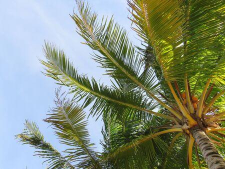 Palmen unter blauem Himmel in Martinique, Französisch-Westindien. Karibisches Meer. Natürliche Farben und Textur.