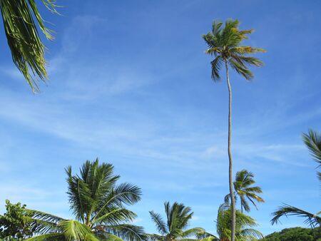 Palme unter blauem Himmel in Martinique, Französisch-Westindien. Tropisches blaues Sonnenmeer, karibisches Meer Standard-Bild