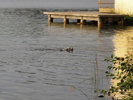 Cálida imagen de perro en el baño matutino en tranquilas aguas de un lago. Horario de verano.-El perro disfruta del baño matutino. Foto de archivo