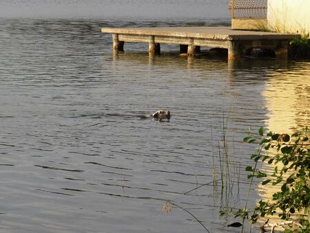 Warm image of dog in the morning bath in calm waters of a lake. Summer Time.-Dog enjoys the morning bath.