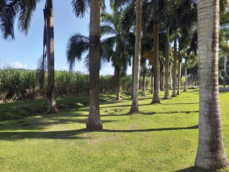 Rows of palm trees on grass and sugarcane crop background. Blue Caribbean sky. Tropical landscape Stockfoto