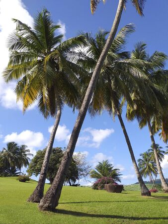 Tropical garden with grass and palm trees and Caribbean blue sky.