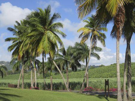 Tropical garden with grass, palm trees, sugar cane and banana plantation with caribbean blue sky. Stockfoto