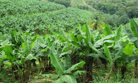 Cultivated valley with banana plantation on tropical island. Caribbean landscape Stockfoto