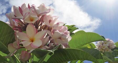Pink Frangipani Plumeria tropical flower. Pink flower under blue tropical sky Stockfoto