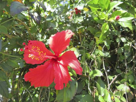 Beautiful fresh red Hibiscus with green leafs