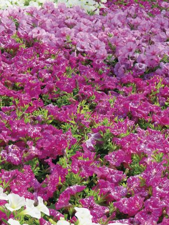Field of pink and fuchsia petunias flowers, top view. Floral background of white blooming petunias. Petunia pattern close up Standard-Bild