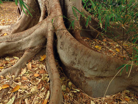 Close-up of twisted roots above the ground of a century-old tree. The roots of a large tree, dried yellow leaves and green bamboo leaves.