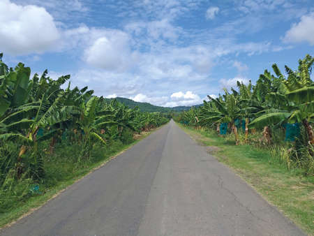Straight and empty road in Caribbean banana plantation under tropical blue sky with white clouds. Detail of Nature in its purest form, ideal for your creations. Backgrounds and patterns.