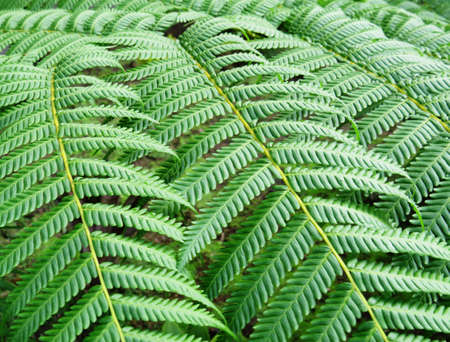 Freshness Green leaf of Fern Background. Large fern leaf in tropical forest of the French West Indies. Tree fern evergreen branches vertical green pattern.Botany and Plants concept. Banco de Imagens