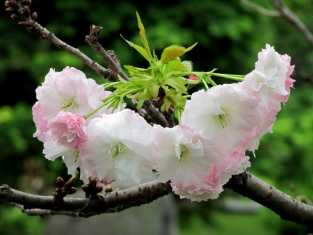 Japanese cherry blossom branch Stock Photo - 14164927