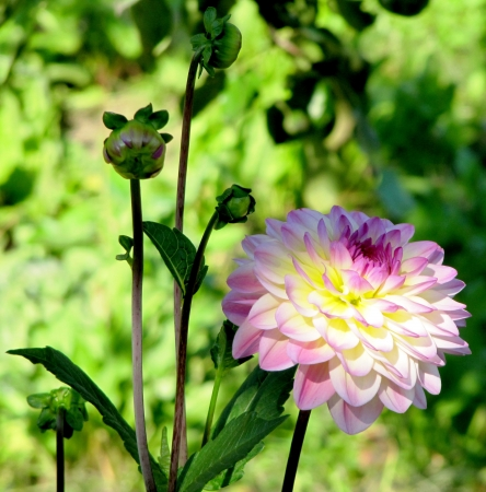 light pink dahlia and buds                                photo