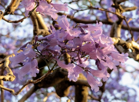 Blue Jacaranda blossoming in the spring