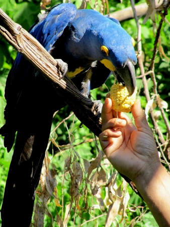 Blue parrot of the macaw eats from a hand of the person