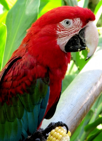 Red Parrot de la lapa verde, Ara macao photo