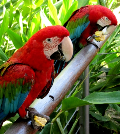 Two red parrots of the macaw eat corn