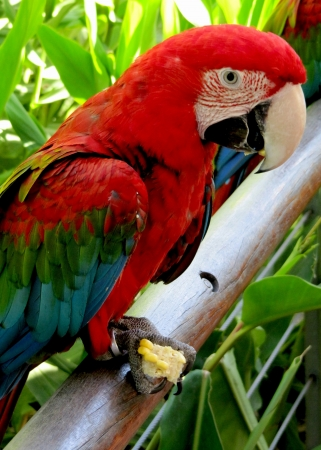 Red parrot of the macaw, Ara macao