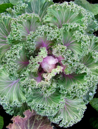 curly headed:   Young green decorative cabbage in growth