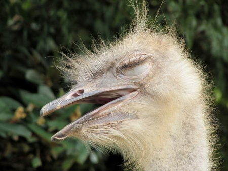 blindly: Retrato de un avestruz a ciegas en un perfil Foto de archivo