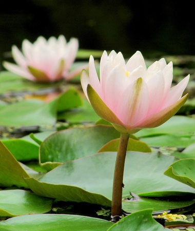 Gentle flowers of a pink water lily