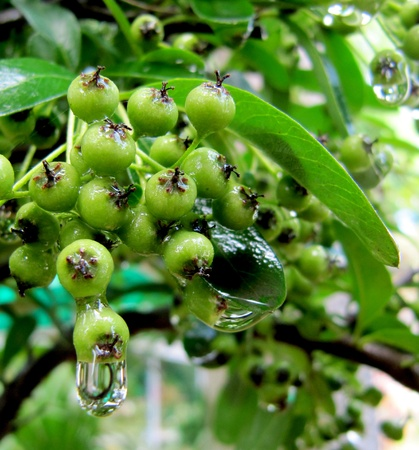 Green paradise apples on a decorative tree in drops after a rain                         photo