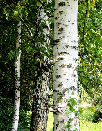 harmonous: Three harmonous beautiful birches                                Stock Photo