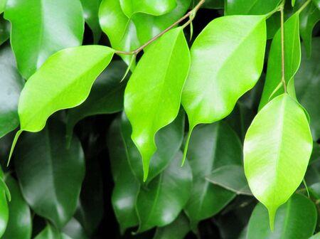 Beautiful green leaves Stock Photo - 14333905