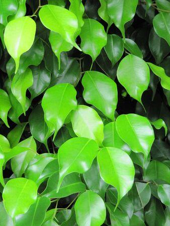 Bright green foliage of a decorative tree                                Stock Photo - 14333906