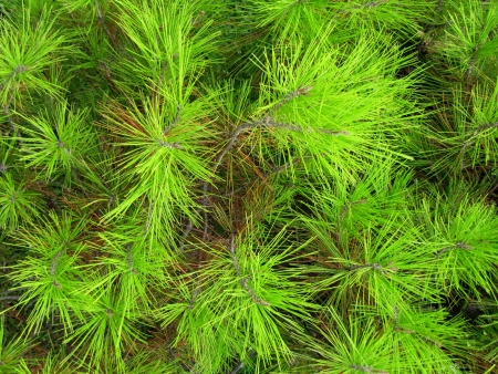 Young green needles of a pine                                photo