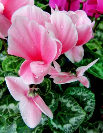 Delicate pink flower of a cyclamen                                Stock Photo