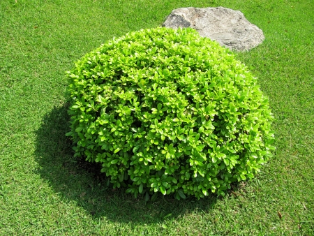 Round decorative bush in a garden                                photo