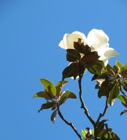 Flower of a white magnolia in the blue sky                                Stock Photo
